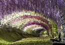 Add the Wisteria Tunnel to your floral bucket list